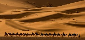 Merzouga camels in the desert